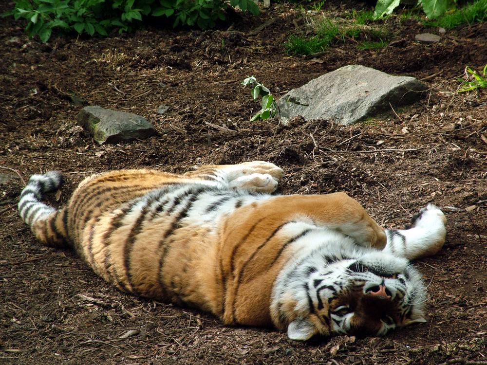 Kanada schließt Zoo: Zwei tote Tiger gefunden