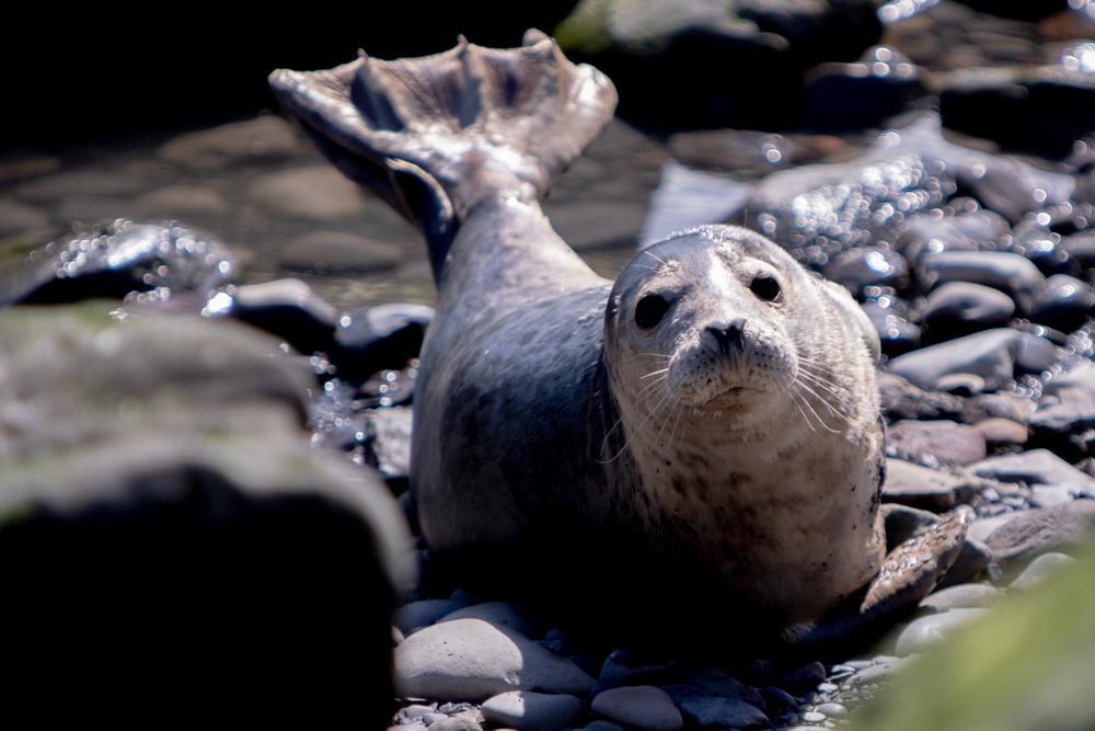 Diese Robben können singen: Forscherin bringt ihnen Songs bei