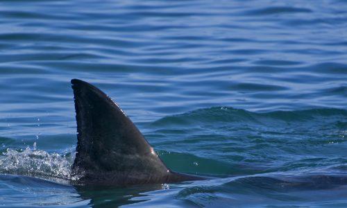 Video: Drei-Meter-Hai vor Küste in Kroatien sorgt für Aufregung
