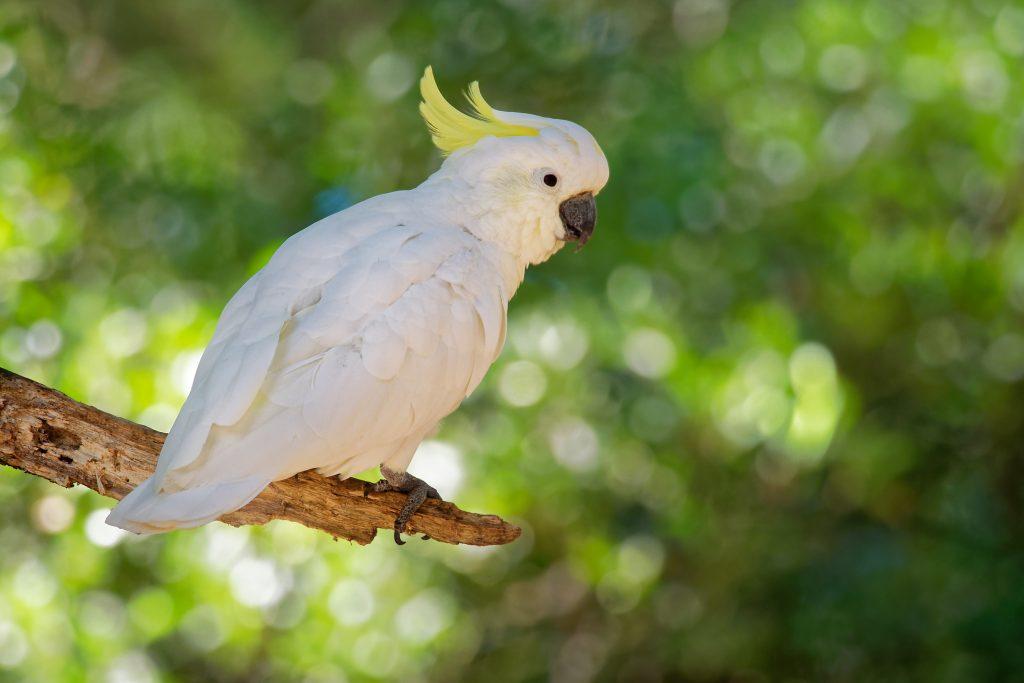 Dieser tanzende Kakadu versetzt alle in Staunen