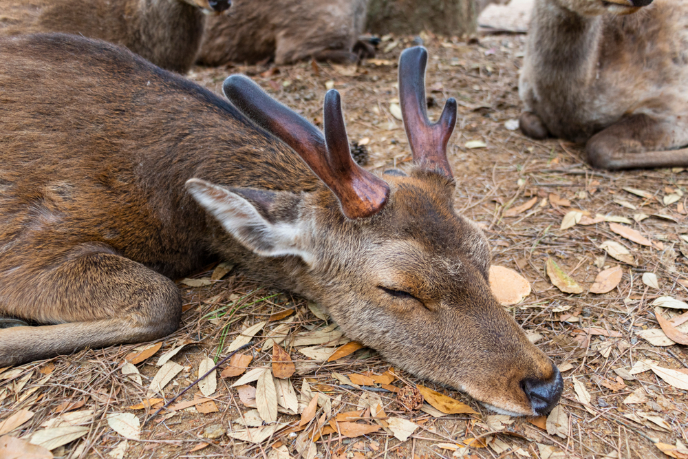 Hirsche in Japan wegen zu viel Plastik im Magen gestorben