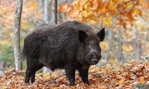 Polizeieinsatz: Jogger flüchtet vor Wildschweinen auf einen Baum