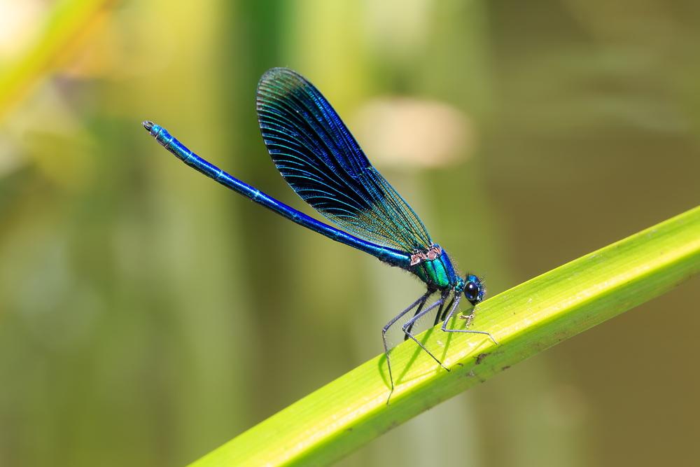Libellen stellen sich tot, wenn sie von Männchen belästigt werden