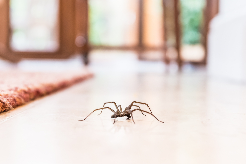 Diese ekligen Spinnen krabbeln im Herbst durch unsere Wohnungen