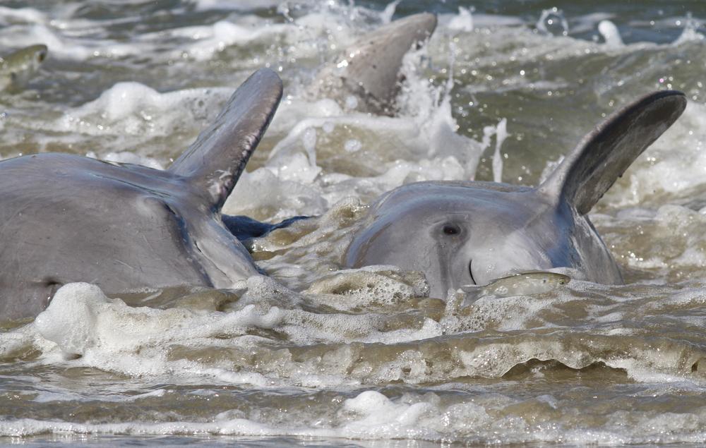 Mehr als 130 gestrandete Delfine in Kap Verde gestorben