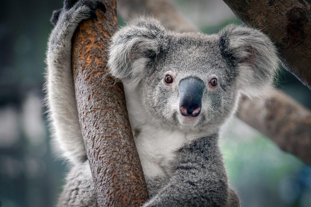 Koalas durch Buschfeuer in Australien getötet