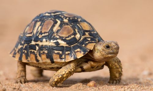 Tortoiseshell Nägel: Dieser Trend ist im Herbst total in