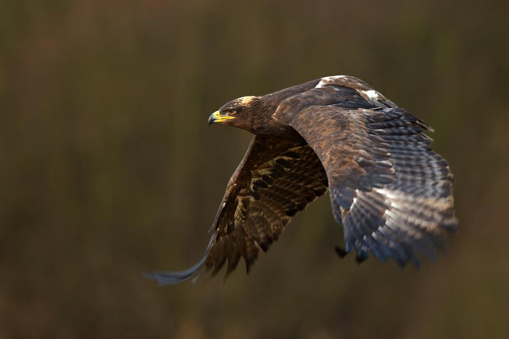 Teure SMS: Adler treiben russische Forscher fast in den Ruin