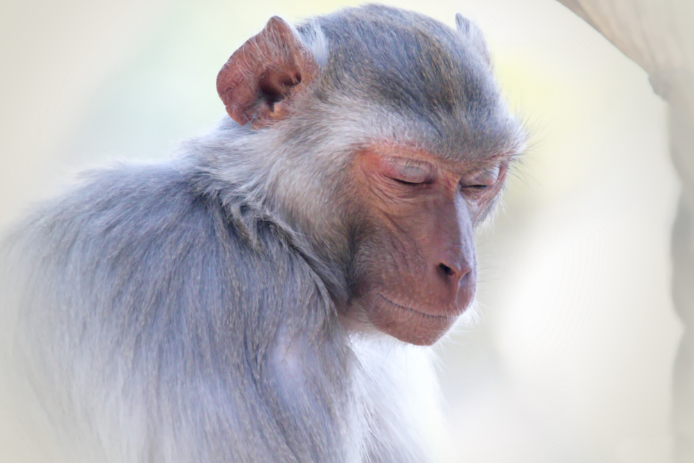 Affen gewinnen Denkspiel gegen Studenten