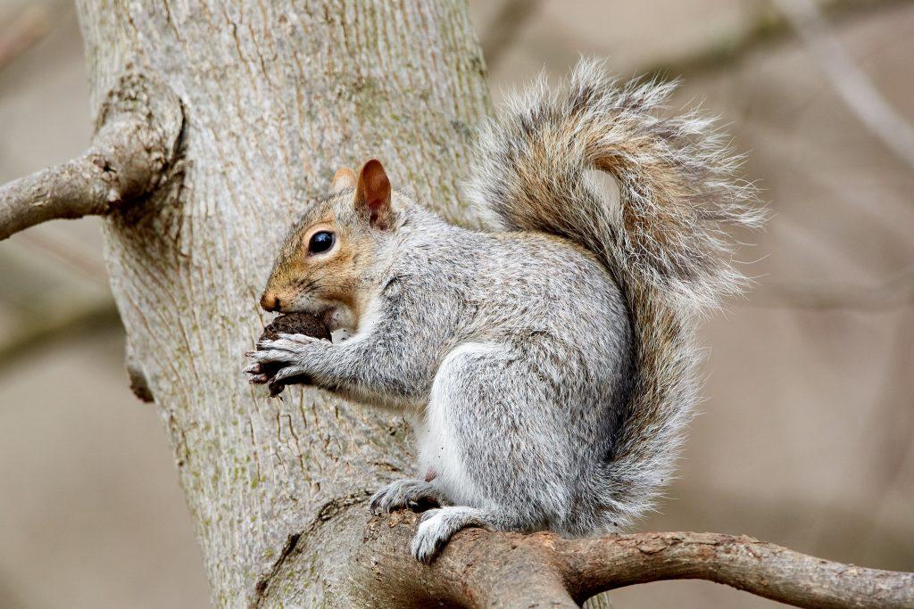 Eichhörnchen bunkerten über 200 Nüsse unter Motorhaube