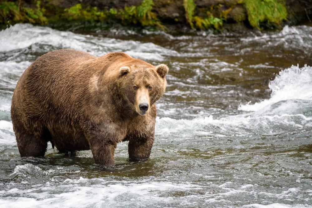 Alaska: Fettester Bär gekürt