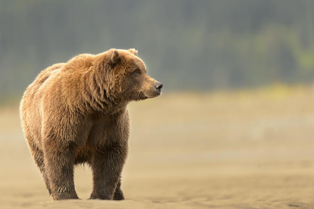 Discovery Channel lässt Menschen gegen Grizzlybär antreten