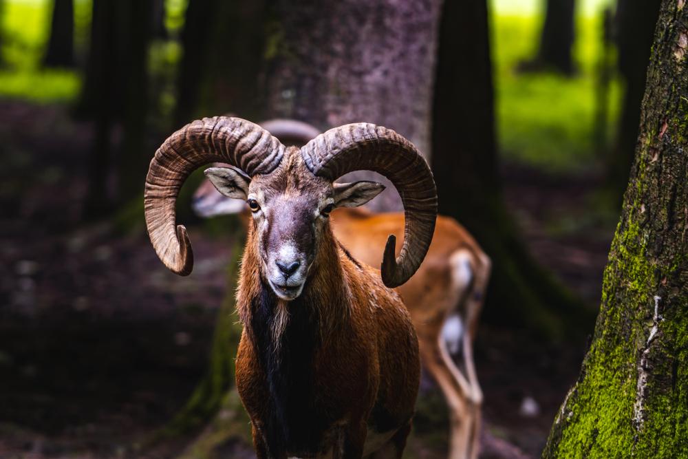 Bielefeld: Gericht verurteilt Wildschaf-Herde zum Tode