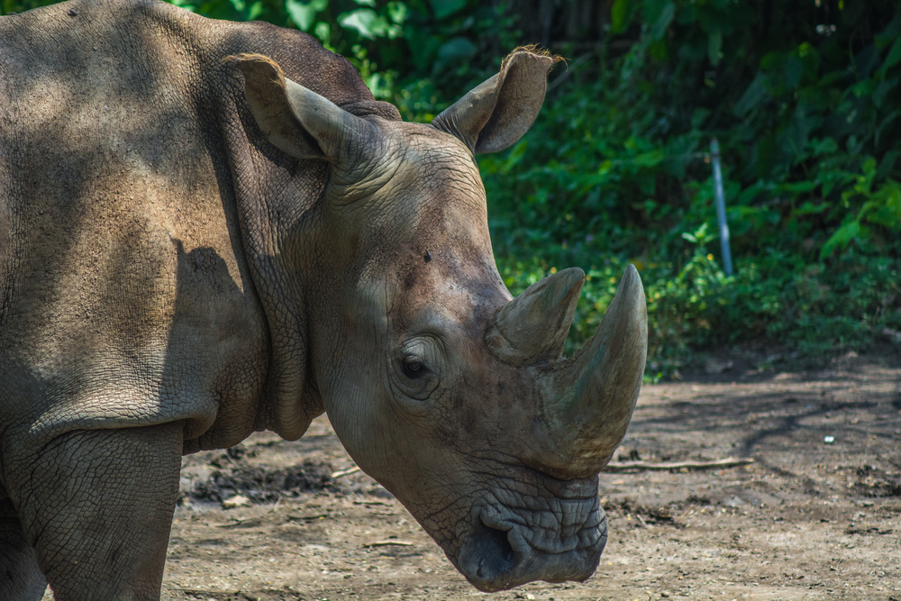 Vom Aussterben bedroht: Letztes Sumatra-Nashorn in Malaysia tot