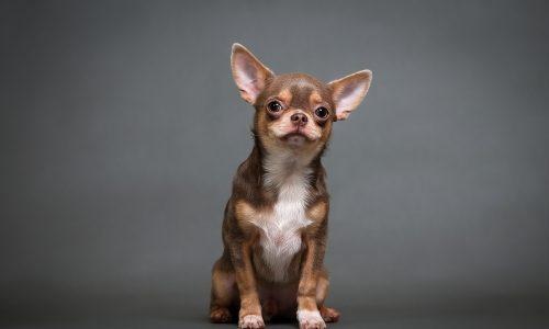 Tierquälerei: Frau schnürte Chihuahua mit BH-Träger die Schnauze ab