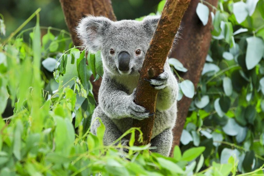 Australien: Geretteter Koala stirbt an seinen Verletzungen