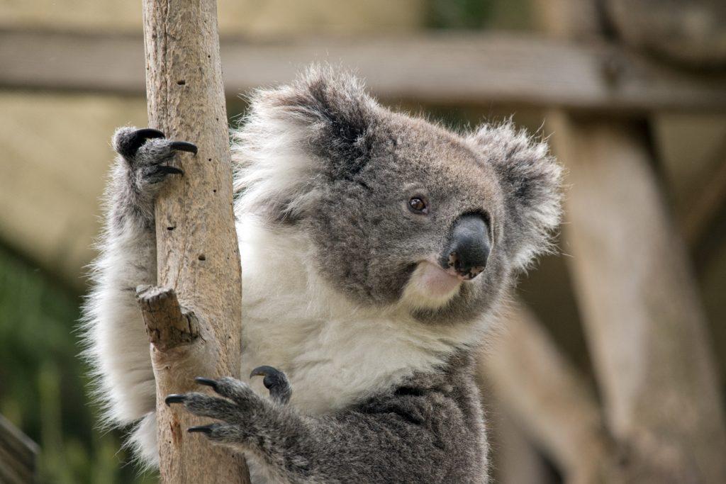 Mehr als 2000 Koalas in Australien verbrannt