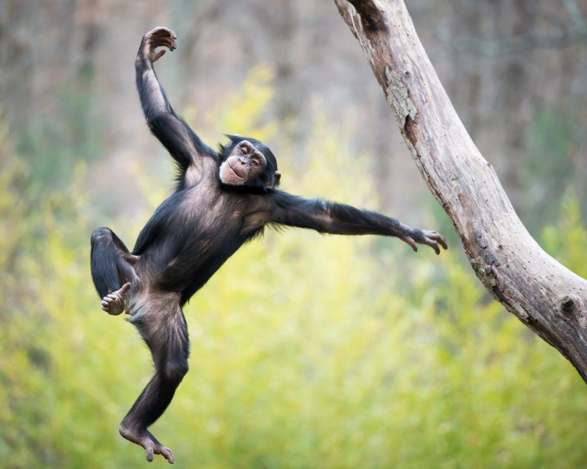 Affen zum ersten Mal beim Tanzen beobachtet