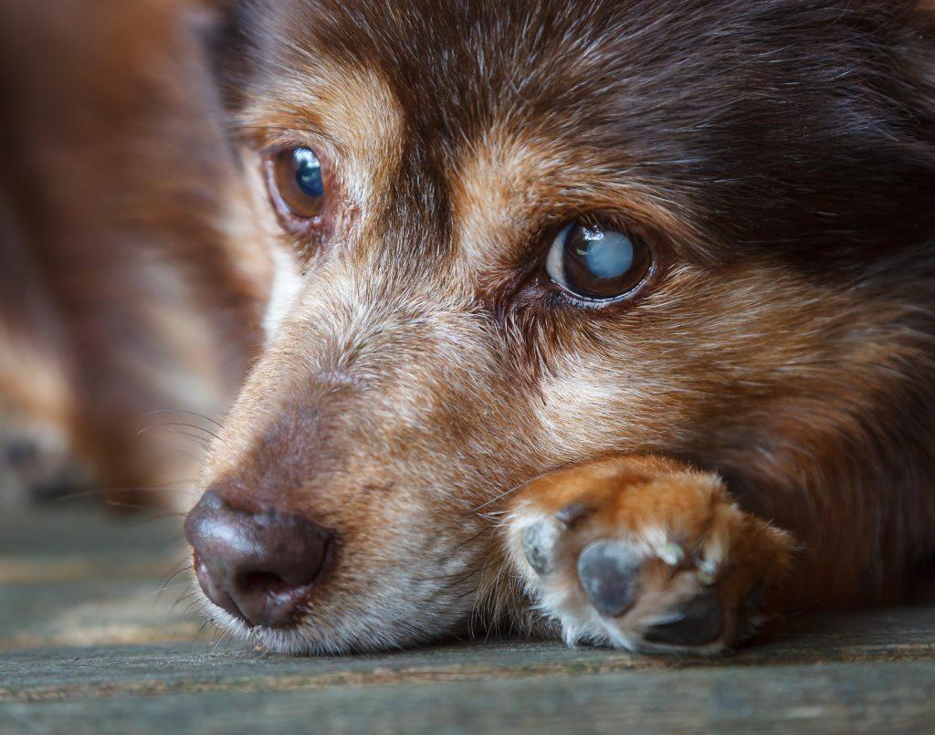 Blinder Hund einfach im Wald ausgesetzt