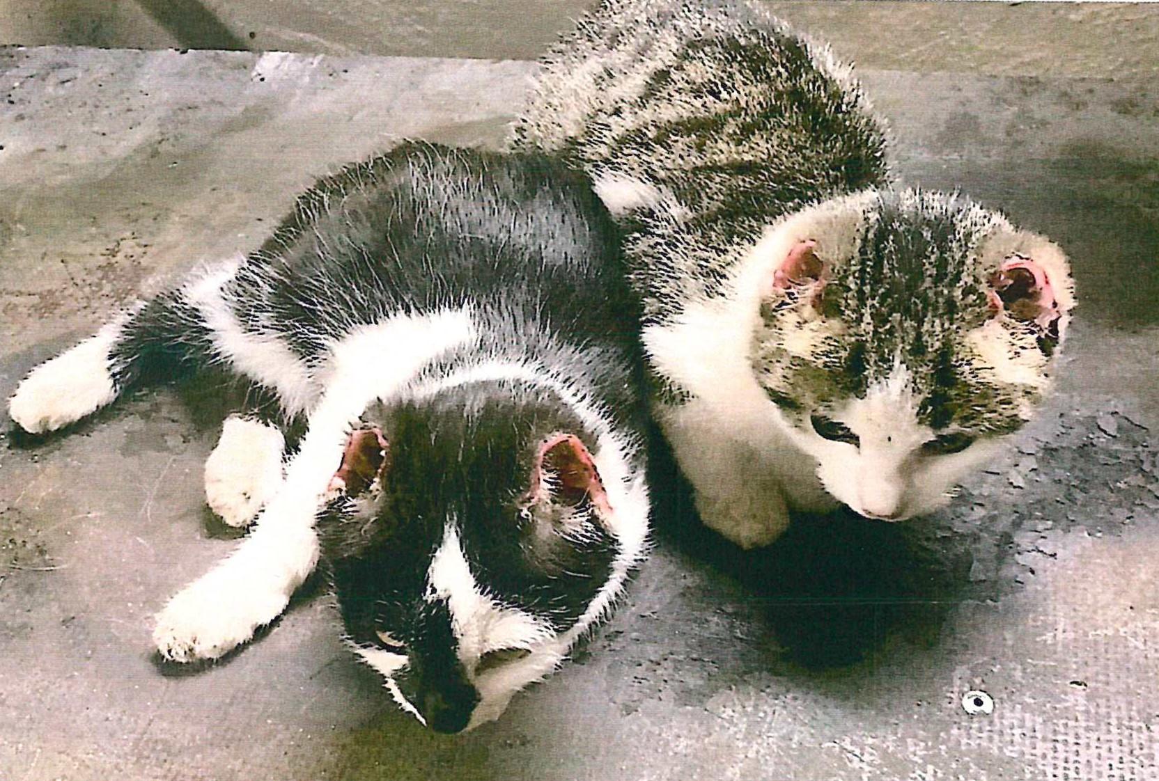 Mühlhausen in Thüringen: Tierhasser verstümmelt Katzenbabys