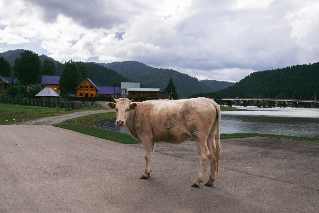 Angst vor Schlachtung: Kuh schwimmt kilometerweit durch See