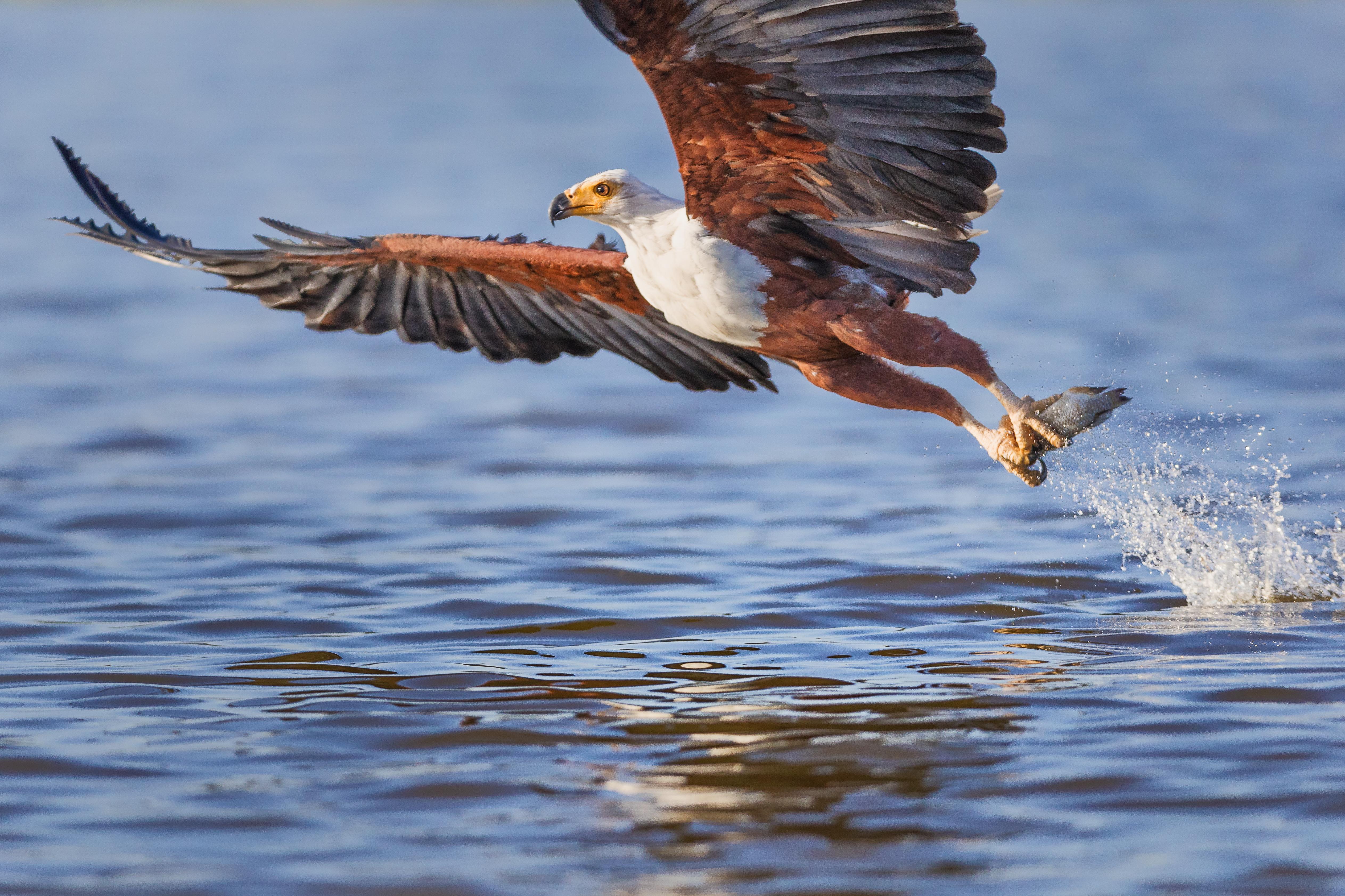 Fischer retten Adler aus Armen einer Riesenkrake