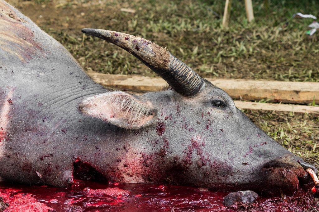 Ghadhimai Tieropfer-Festival: Massentierschlachtung in Nepal beginnt