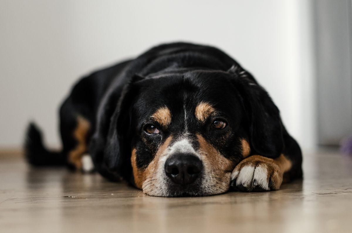 Hund stirbt wegen Angst vor Feuerwerk