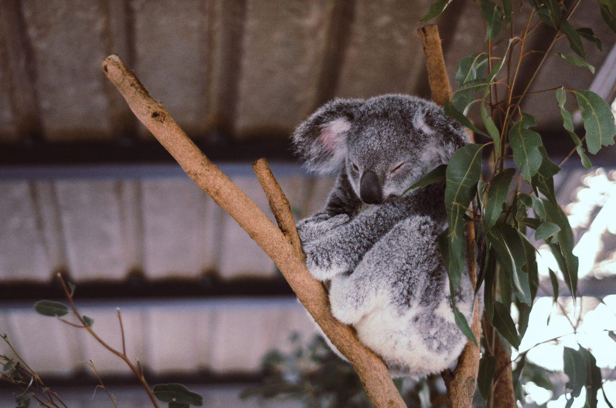 Australien: Radfahrerin hilft durstigem Koala