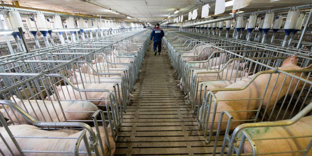 China züchtet Schweine, so schwer wie Eisbären