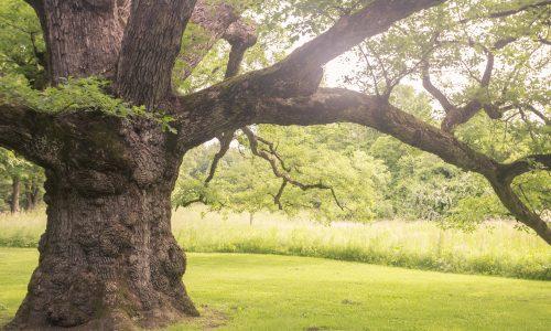 Dieser Baum ist für mehr als 100 Hochzeiten verantwortlich