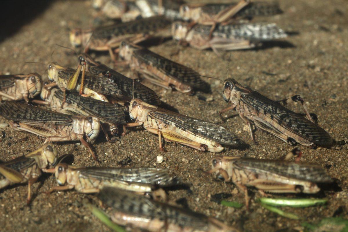 Heuschreckenplage in Ostafrika könnte zu Hungersnot führen