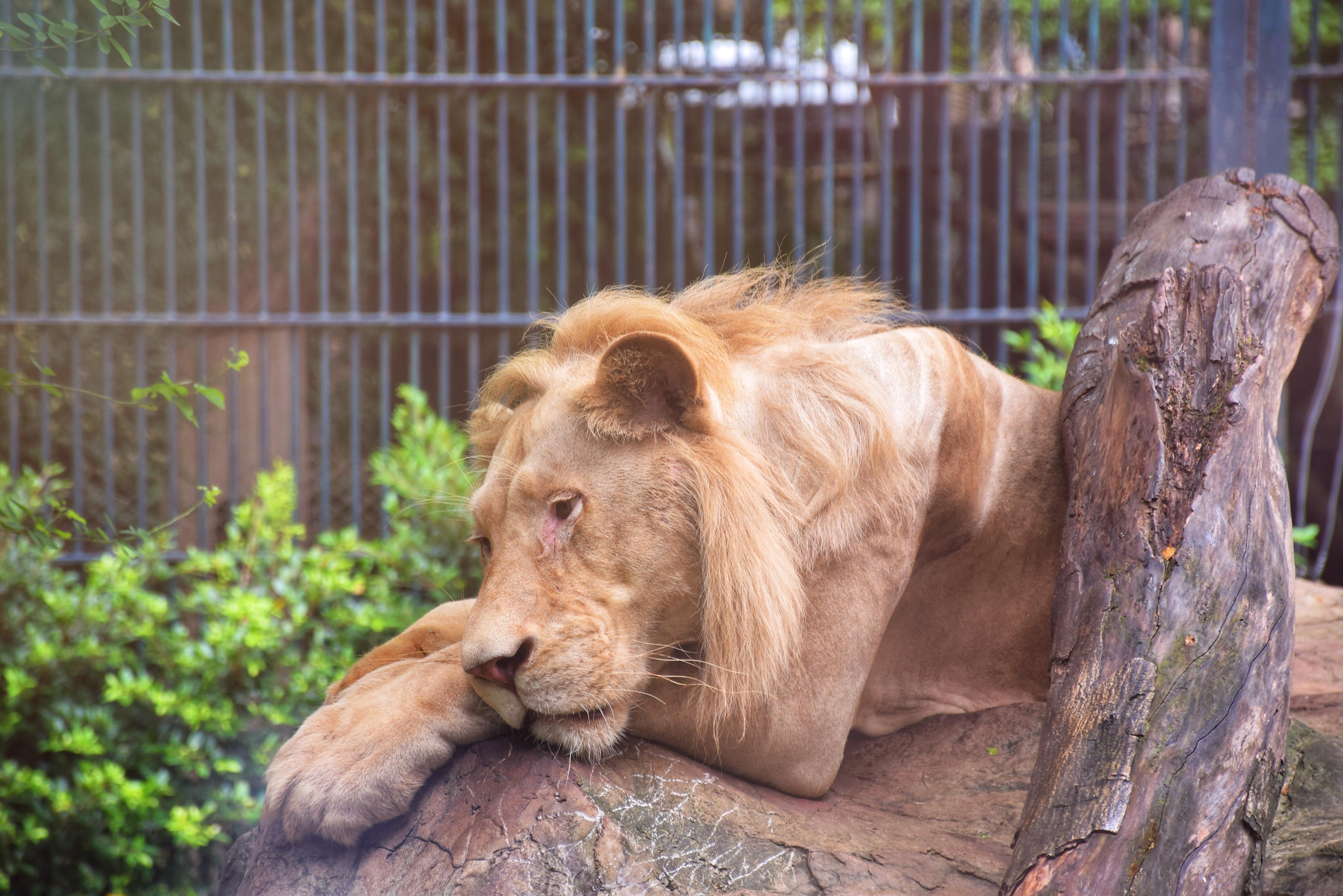 Sudan: Löwen im Zoo droht der Hungertod