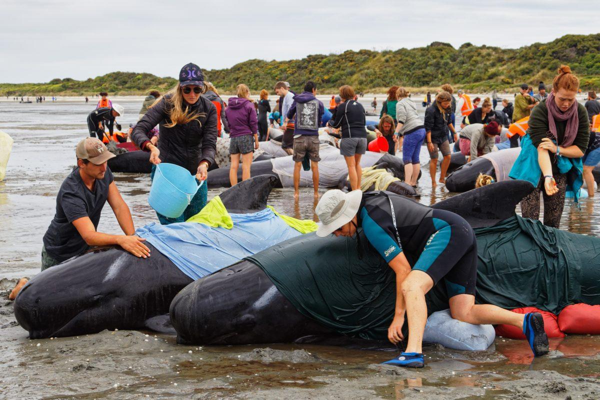 Gestrandete Wale in Neuseeland: Hunderte Freiwillige retten die Tiere
