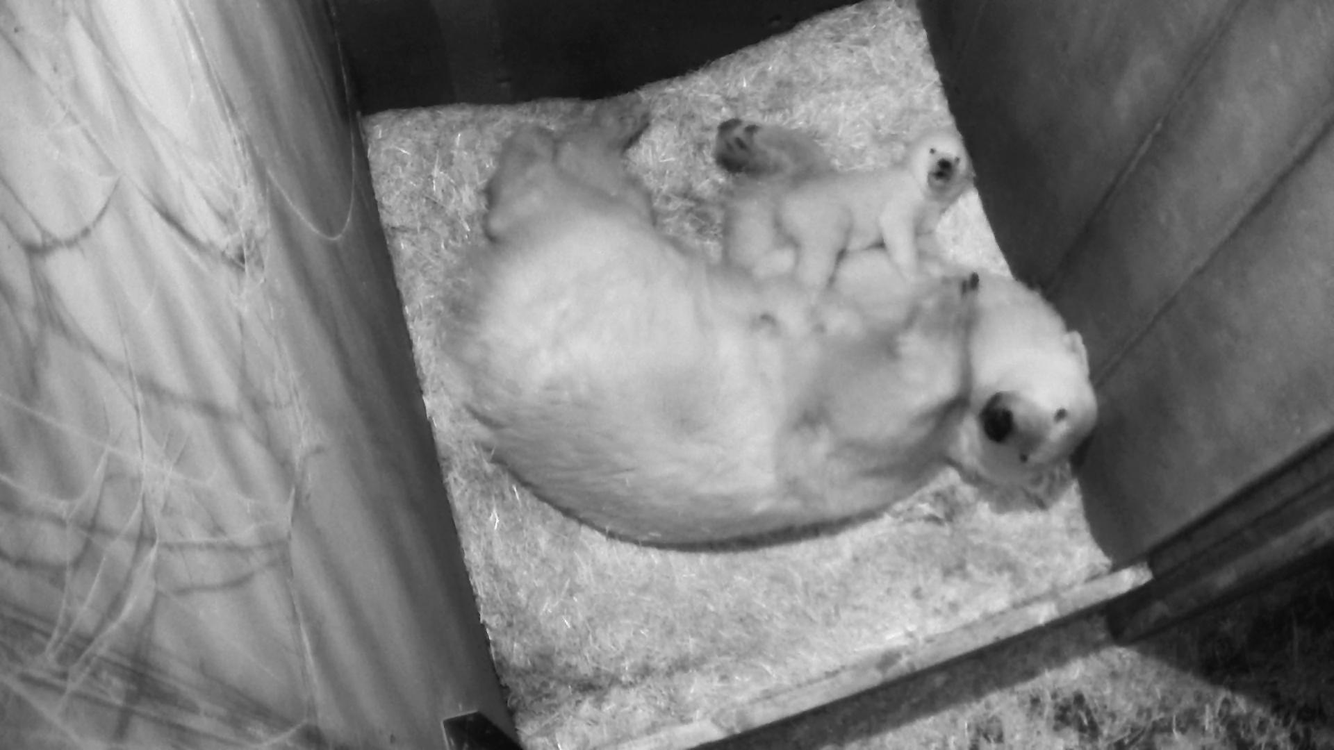 Eisbär-Baby in Schönbrunn macht erste Gehversuche