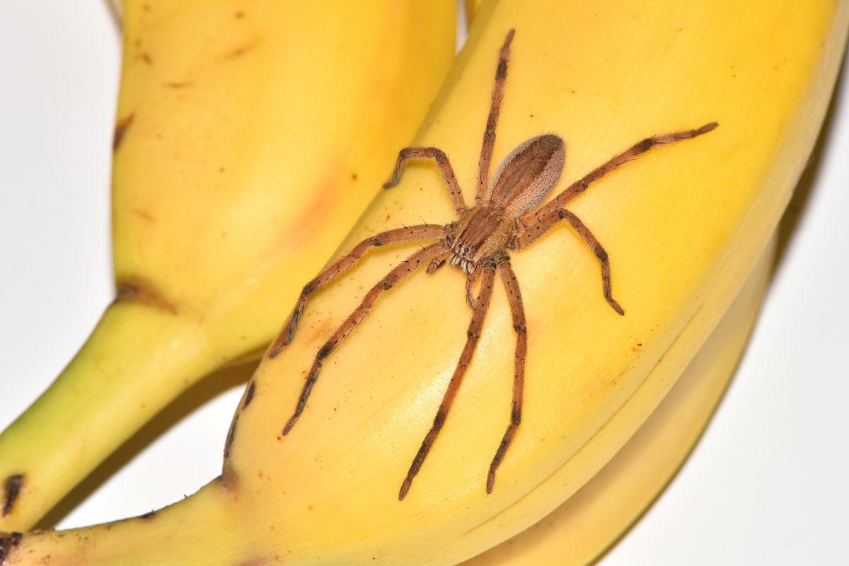Riesenspinne krabbelt aus Bananenschachtel in der Steiermark
