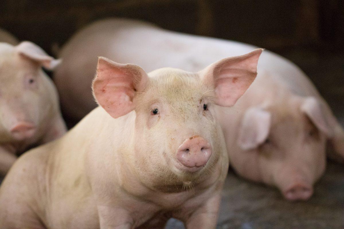 Schweine fressen eigenen Bauern in Polen auf