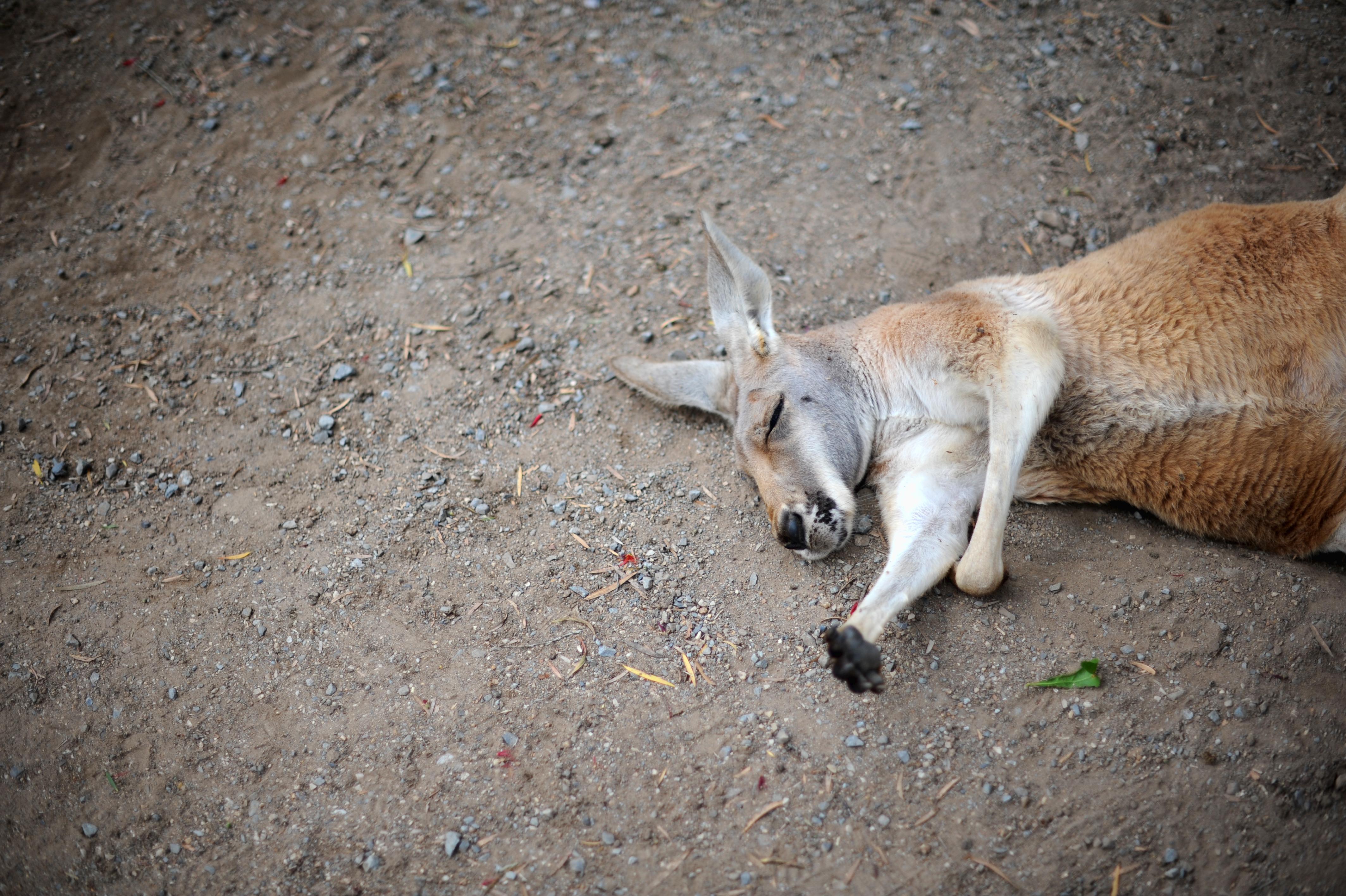 Teenager quält Känguru in Australien zu Tode
