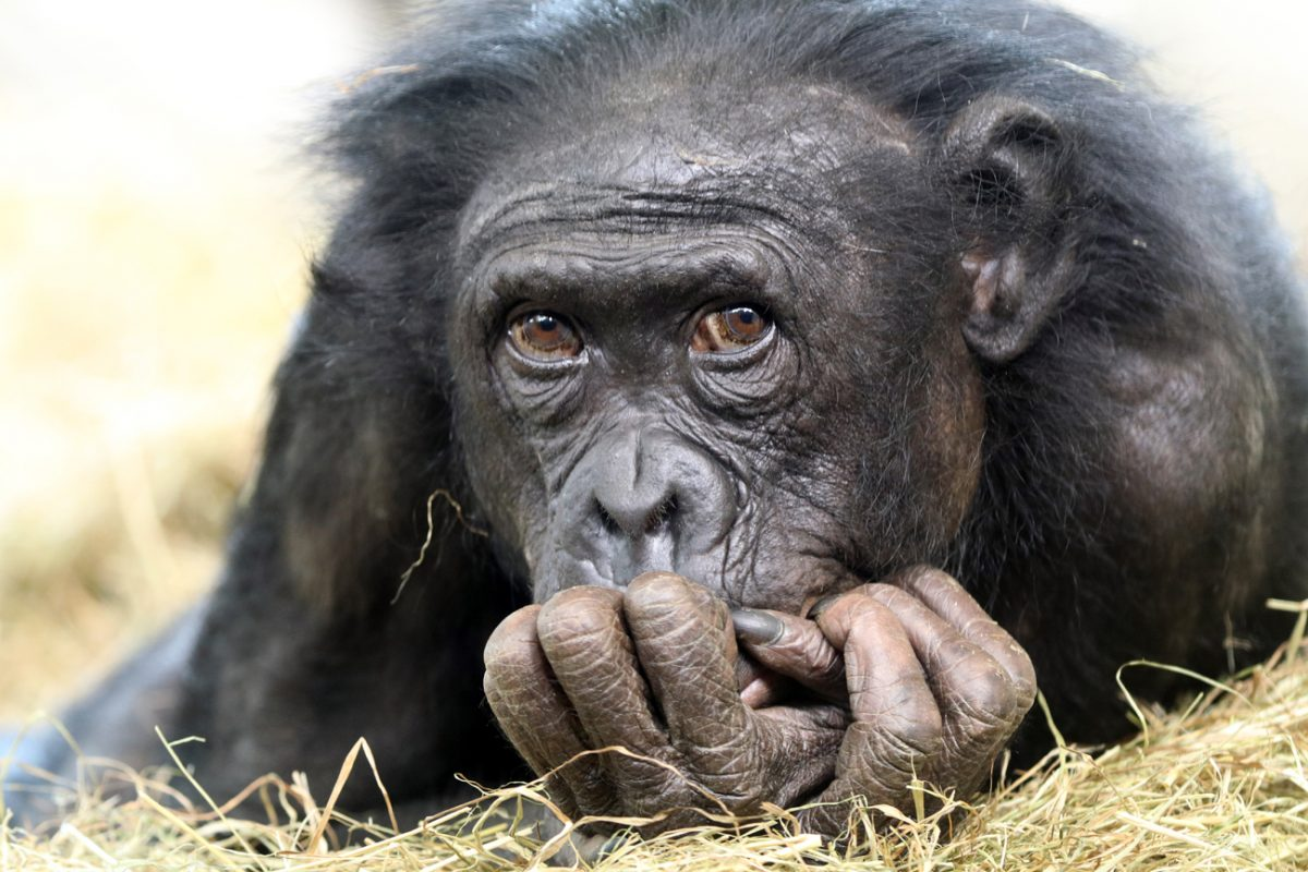 Zoo Frankfurt: Affen-Mama trägt totes Baby tagelang durchs Bonobo-Gehege