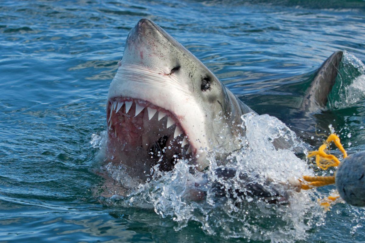 Weißer Hai tötet Taucher vor australischer Küste