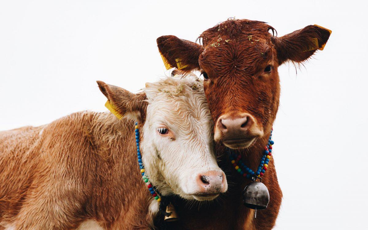 Studie: Kühe reden über ihre Gefühle