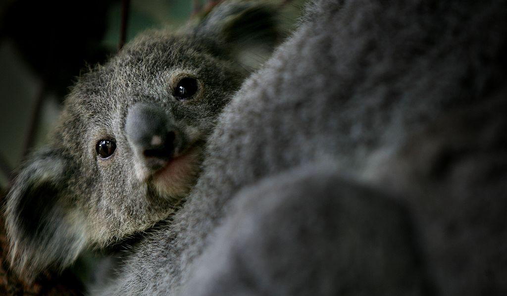 Australien: Rettungskräfte sollen Babytiere töten