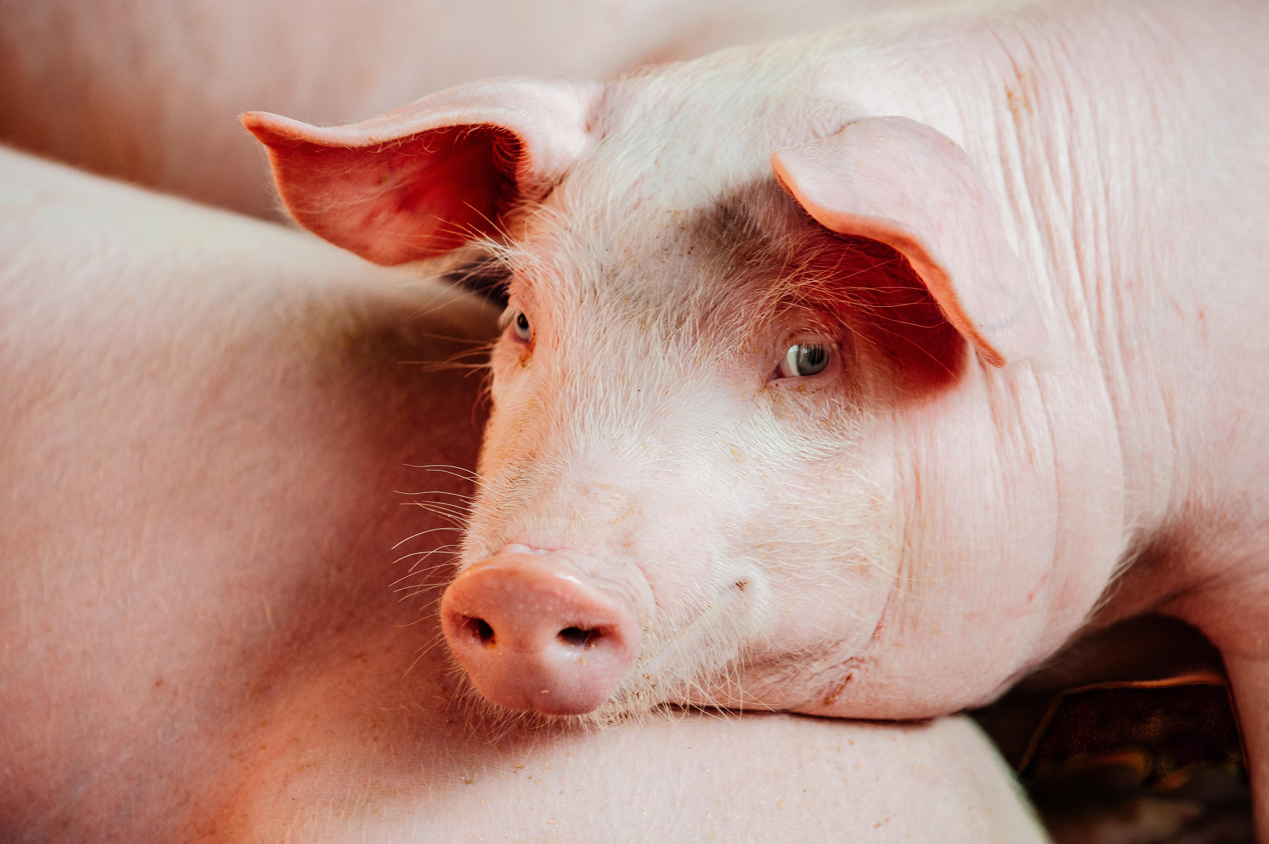 Vergnügungspark zwingt Schwein zu Bungee-Sprung: Shitstorm im Netz