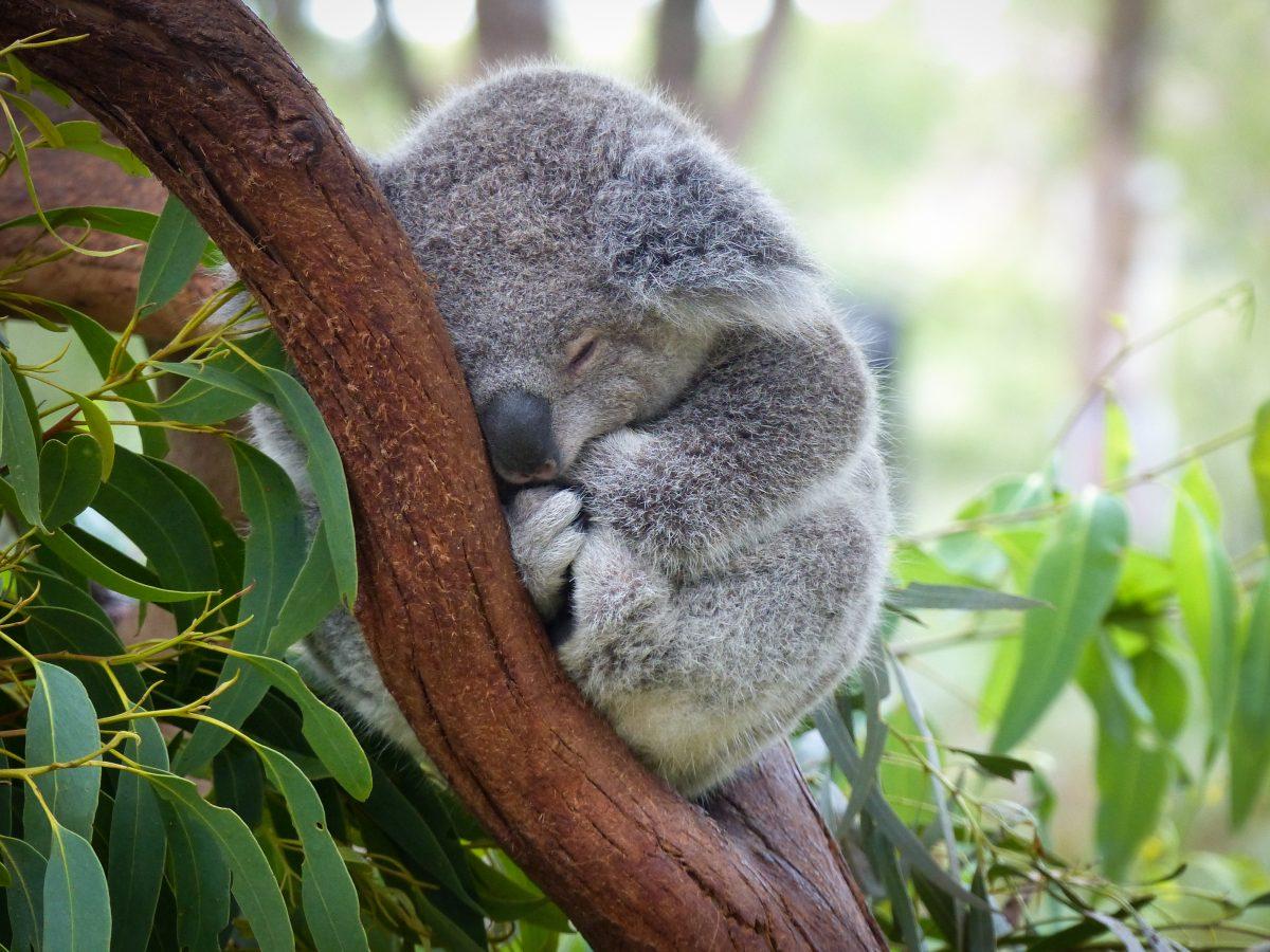 """Australien: Mehr als 100 Tierarten auf """"dringende Hilfe"""" angewiesen"""