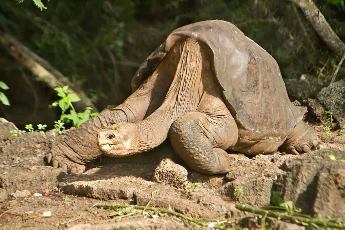 Ausgestorben geglaubte Riesenschildkröten auf Galapagos-Inseln entdeckt