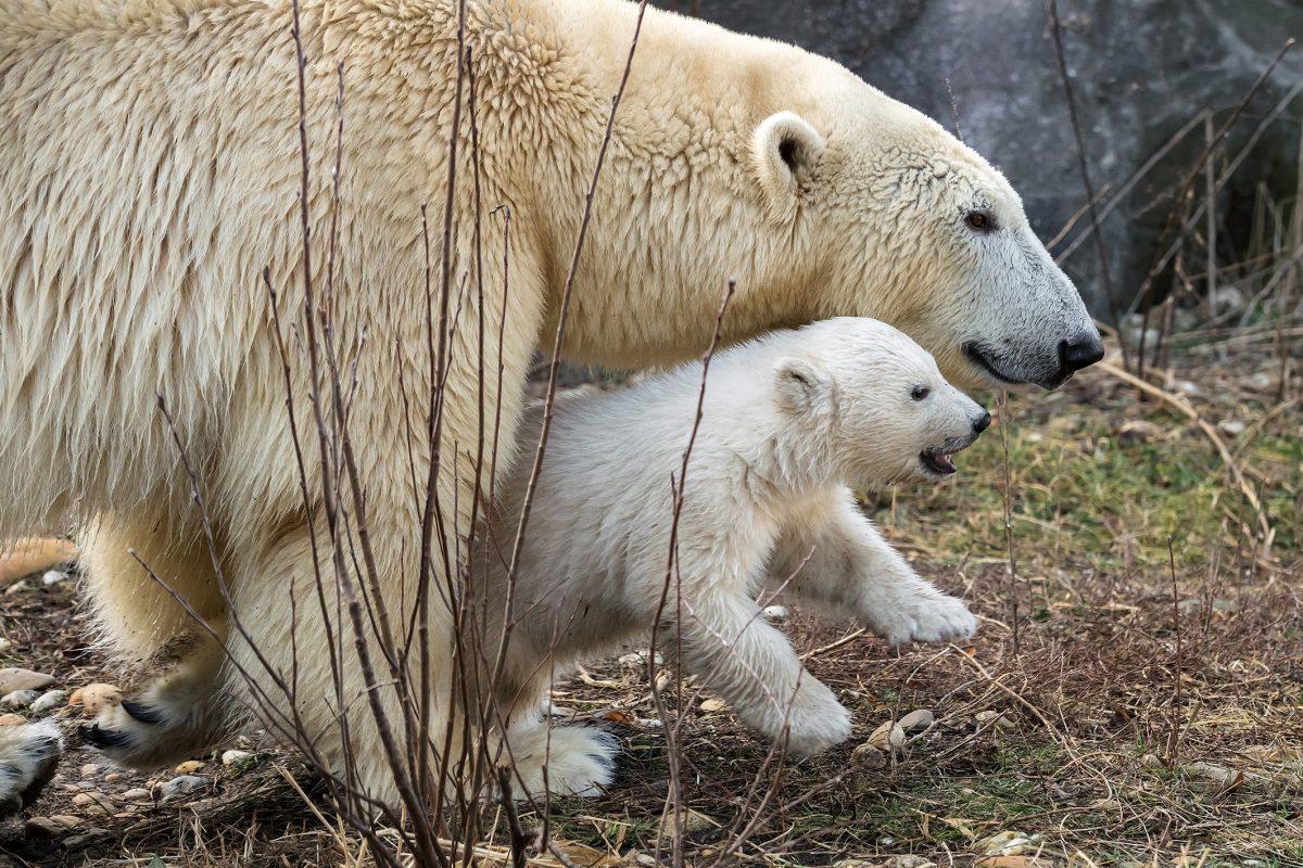 Eisbär-Baby in Schönbrunn ist ein Weibchen: Namenssuche beginnt