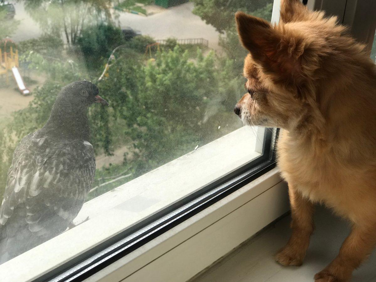 Diese Taube und ein Hund mit Behinderung sind beste Freunde