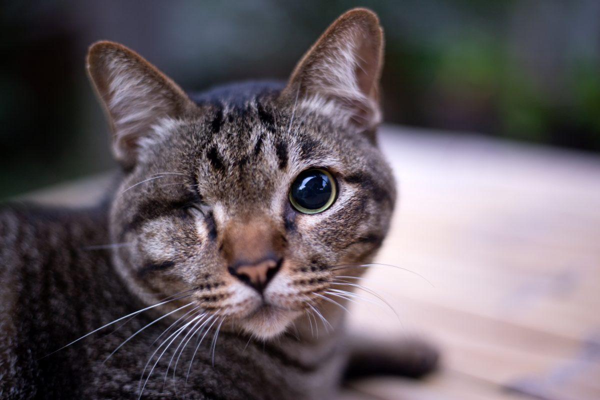 Dieser Katze wurde mit einem Luftgewehr ins Auge geschossen