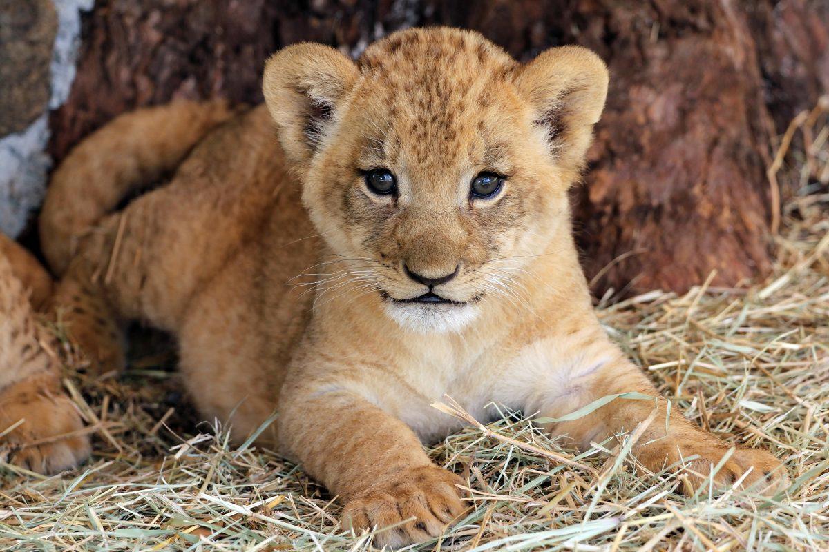 Pavian Löwenbaby