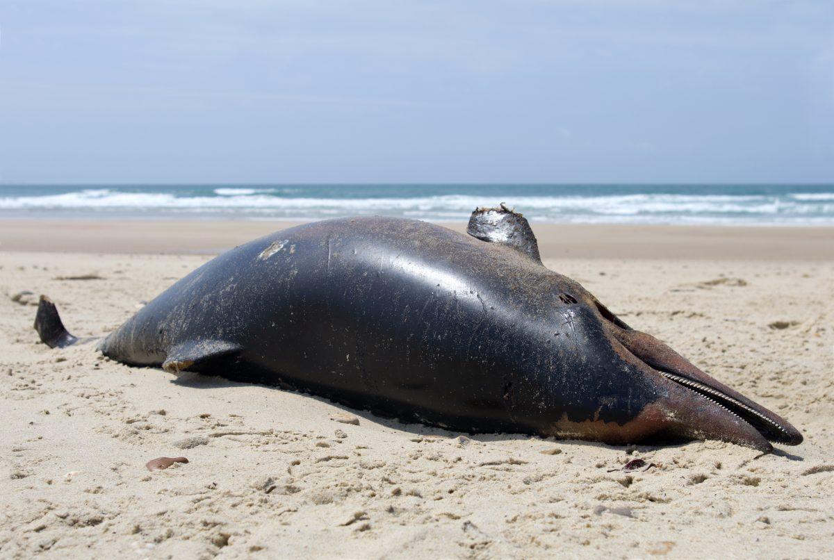 670 tote Delfine an Frankreichs Küste angespült